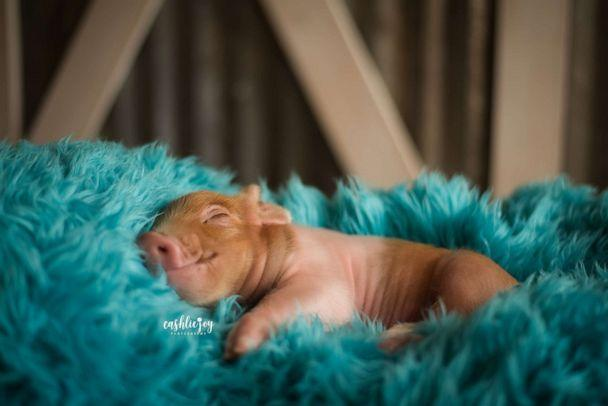 PHOTO: Dynamite is owned by Wade and Connor Hamilton from Hamilton Show Pigs. (Cashlie Joy Photography)