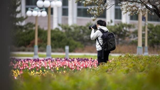A person photographs tulips at Major's Hill Park in Ottawa on May 5, 2021, ahead of the official start of the Canadian Tulip Festival. (Andrew Lee/CBC - image credit)