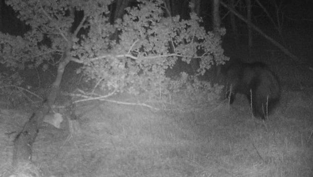 Ryan Brook, an associate professor at the University of Saskatchewan's College of Agriculture and Bioresources, captured a black bear on camera earlier this week as part of his ongoing research on wildlife in Saskatoon. He says the appearance by was an unusual one. (Supplied by Ryan Brook - image credit)