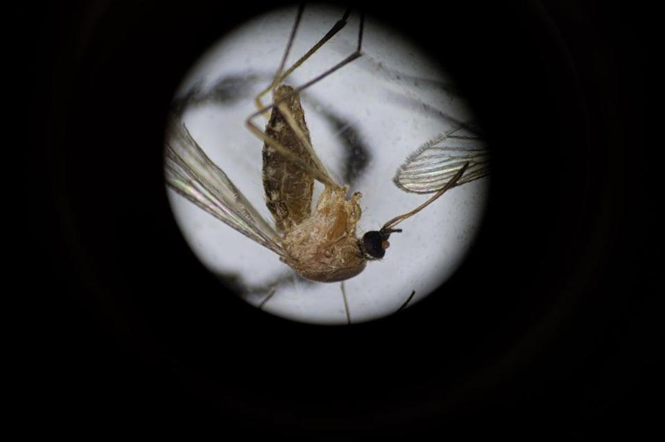 File image: Culex pipiens, a common mosquito species, is seen through a microscope  (Getty Images)