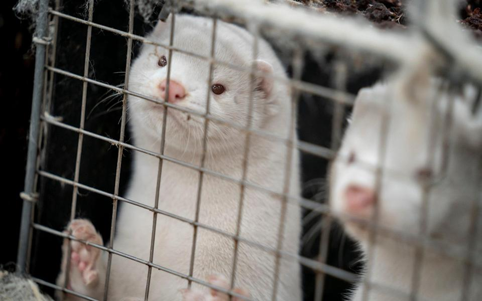 The government ordered the culling of all Danish mink because of the coronavirus - Ritzau Scanpix