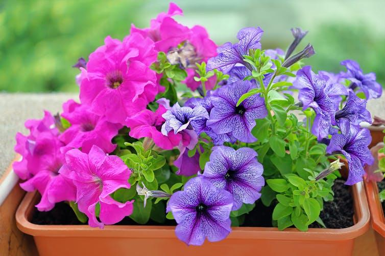 A pot of pink and purple petunias.