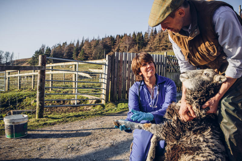 Picture of vet evaluating a sheep, like the controversial photo.