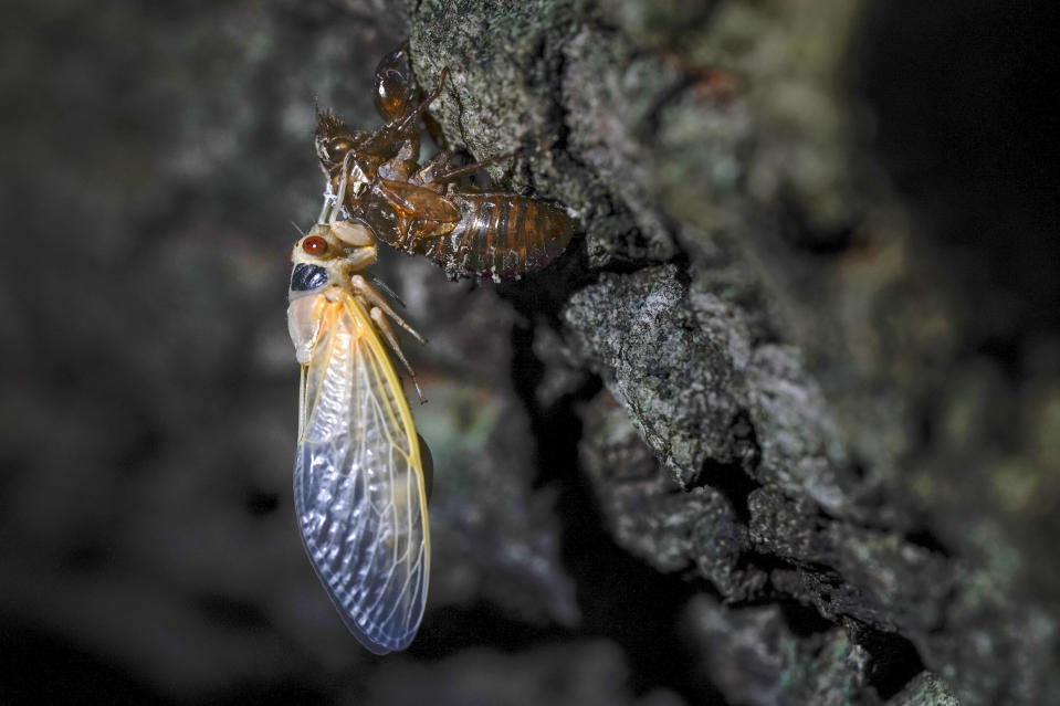 FILE - An adult cicada rests after shedding its nymphal skin, on the bark of an an oak tree early Wednesday, May 5, 2021, on the University of Maryland campus in College Park, Md. Swarms of the red-eyed bugs reemerging after 17 years below ground offer a chance for home cooks to turn the tables: making the cicadas into snacks. Full of protein, gluten-free, low-fat and low-carb, cicadas were used as a food source by Native Americans and are still eaten by humans in many countries. (AP Photo/Carolyn Kaster, File)