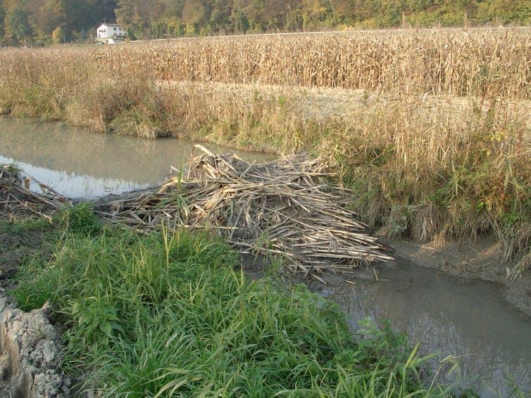 A beaver dam constructed from maize in a river next to field of crops