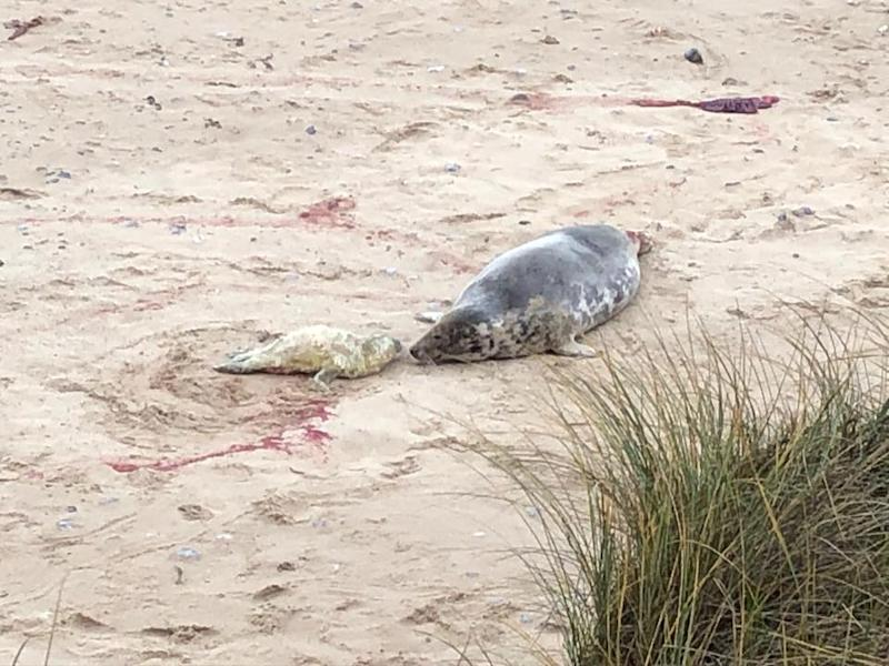 Seal pictured on beach as people are warned not to get within 30 metres of the wild animals.