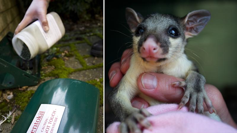 Rat bait (Left) and a young brushtail possum (right)