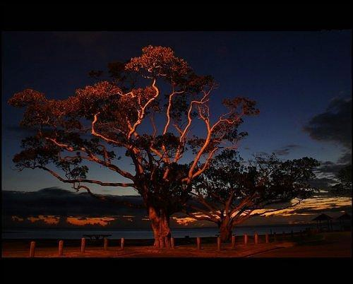This flaming fig tree is illuminated by the sun as it begins to rise. (Photo: frog n fries/environmentalgraffiti.com)