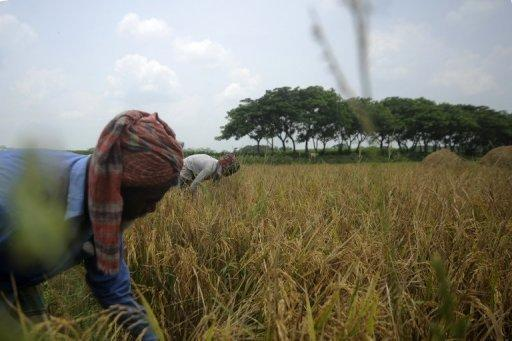 Bangladeshi farmers harvest rice in a field on the outskirts of Dhaka in May 2012. According to a study issued by the World Bank, rising sea levels could inundate coastal areas with the most vulnerable cities found in Bangladesh, India, Indonesia, Madagascar, Mexico, Mozambique, the Philippines, Venezuela and Vietnam