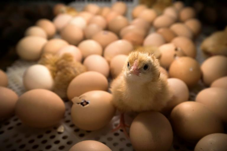 France aims to ban the widespread but hugely controversial practice of slaughtering male chicks by the end of next year