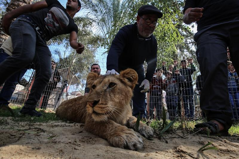 """A Palestinian veterinarian holds down the head of lionness """"Falestine"""" as she is being declawed at Rafah zoo in southern Gaza for visitors to be able to pet the animal (AFP Photo/SAID KHATIB)"""