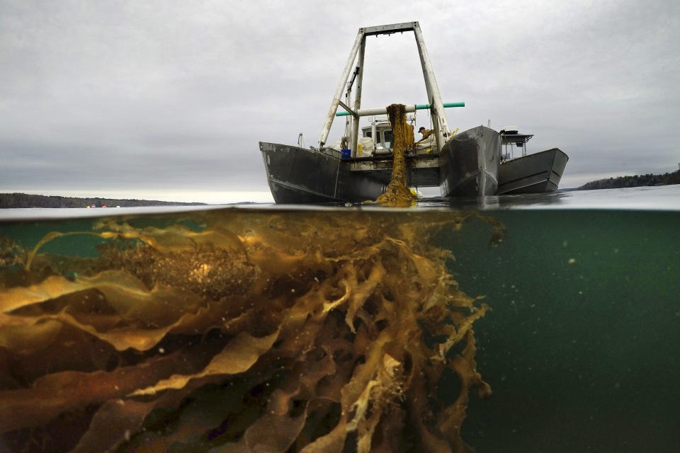 A line of seaweed is hauled aboard a barge for harvesting, Thursday, April 29, 2021, off the coast of Cumberland, Maine. Maine's seaweed farmers are in the midst of a spring harvest that is almost certain to break state records(AP Photo/Robert F. Bukaty)
