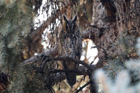 A long-eared owl sits on a branch of a pine tree in a park in Kikinda, Serbia, November 14, 2018. Picture taken November 14, 2018. REUTERS/Marko Djurica