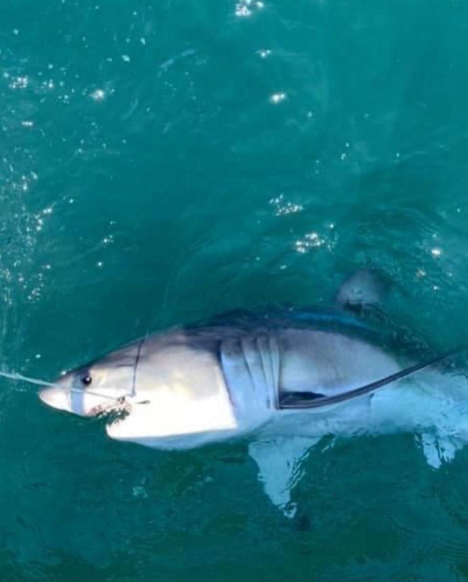 A great white shark that was caught and released by the crew of Reel Innovation on Sunday. The boat was a mile off the Seaside Heights coast.