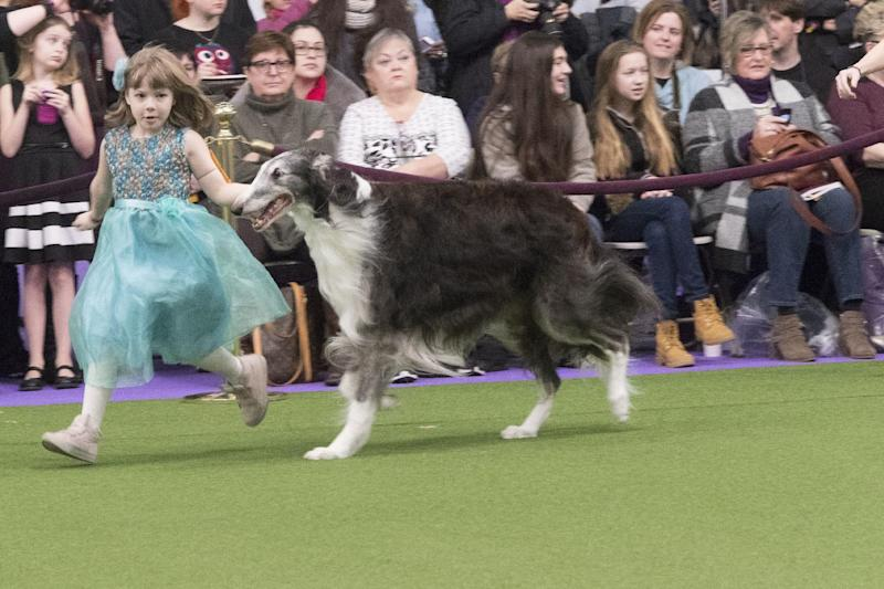 Raina McCloskey, from Delta, Pa., shows Briar, a borzoi, during the 141st Westminster Kennel Club Dog Show, Monday, Feb. 13, 2017, in New York. (AP Photo/Mary Altaffer)