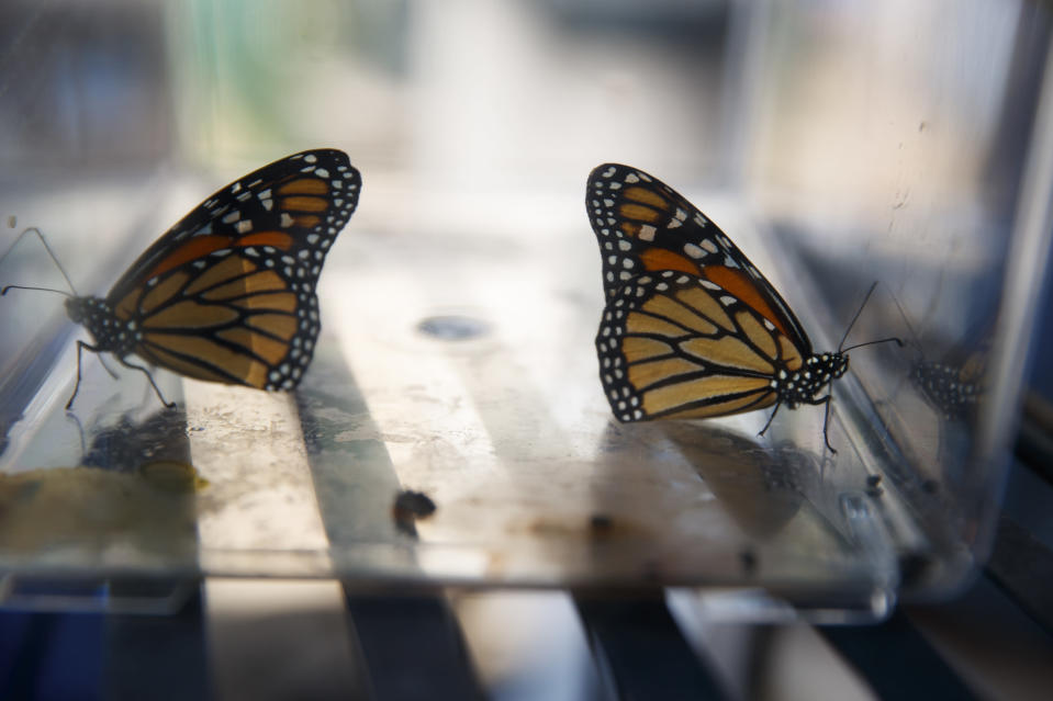 Two newly emerged monarch butterflies sit in a container before being released in Laura Moore's yard in, Greenbelt, Md., Friday, May 31, 2019. Despite efforts by Moore and countless other volunteers and organizations across the United States to grow milkweed, nurture caterpillars, and tag and count monarchs on the insects' annual migrations up and down America, the butterfly is in trouble. (AP Photo/Carolyn Kaster)