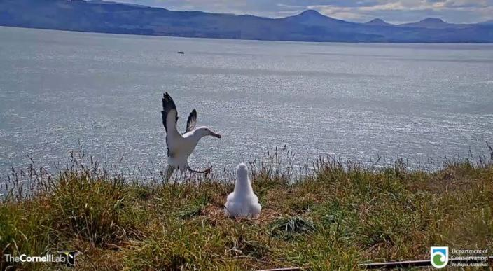 Video grab shows an albatross falling over while attempting to land at Taiaroa Head nature reserve in South Island, New Zealand