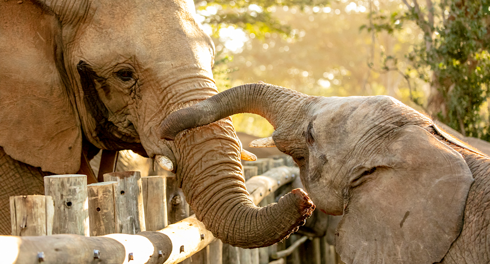 The young elephants meet the herd living near Victoria Falls. Source: IFAW / Lesanne Dunlop