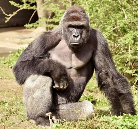 Harambe, Gorilla, Cincinnati Zoo, Ohio, animal lovers, rare species,