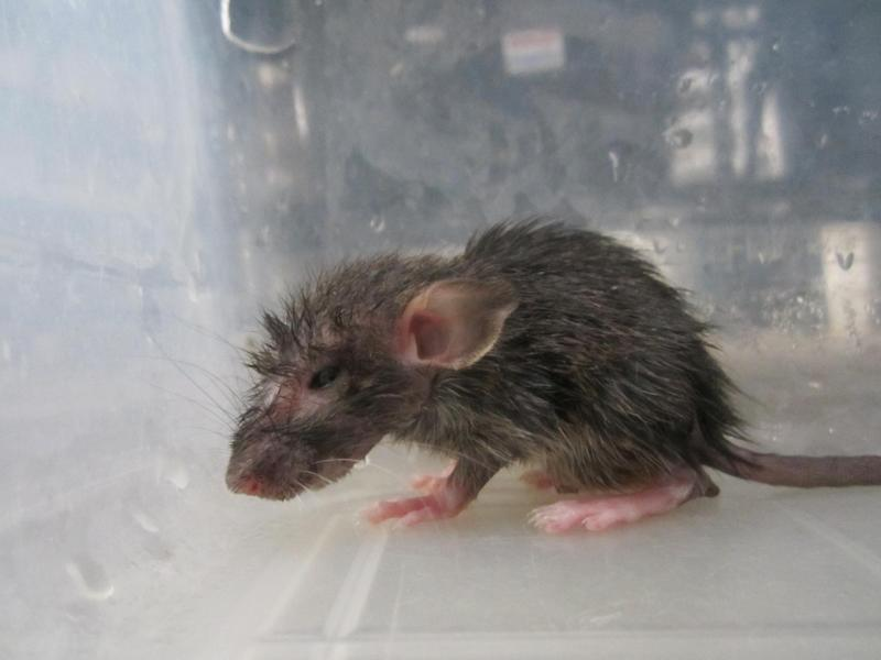 In this Dec. 2012 photo provided by People for Ethical Treatment of Animals (PETA) shows a weak and lethargic rat who was found in a tub among at least 200 other juvenile rats, many of whom were severely dehydrated and dying at a breeding center in Lake Elsinore, Calif., authorities said Monday, July 22, 2013. Riverside County authorities say two men have been charged with 106 counts of felony animal cruelty for the way they treated nearly 20,000 rats and reptiles found diseased, dying or dead. (AP Photo/PETA)