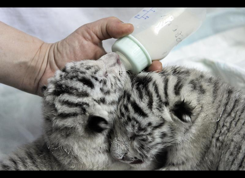 A white tiger cub is nursed from a bottle by a Zoo worker in the Ukraine's biggest zoo in the Black Sea resort city Yalta, Friday, May 11, 2012. A beautiful white tiger that became a symbol of Yulia Tymoshenko's presidential campaign has returned to the spotlight by giving birth to four cubs, including a rare albino one. Tigryulia, a 3-year-old white Bengal tiger successfully delivered the cubs, but has been reluctant to nurse them, apparently distracted by zoo visitors and her partner, a 6-year-old tiger from France named Patrice. (AP Photo/ Andrew Lubimov)