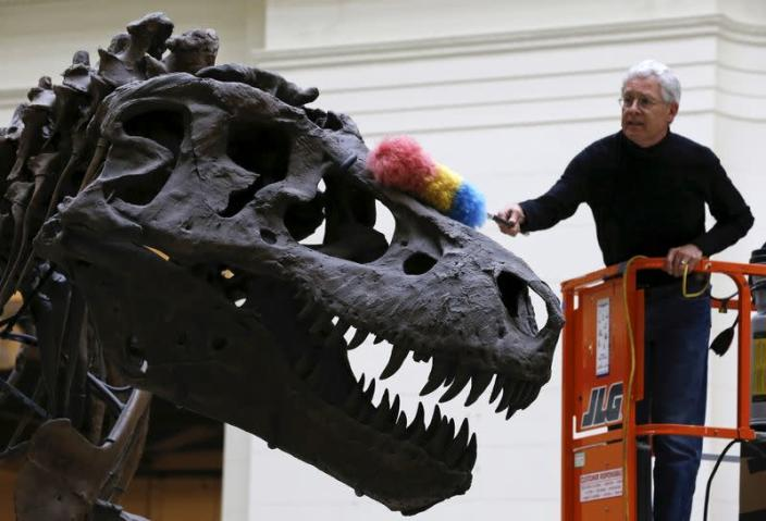 "FILE PHOTO: Geologist Bill Simpson uses a feather duster to clean the 67-million-year-old Tyrannosaurus Rex fossil known as ""SUE"" at The Field Museum in Chicago"