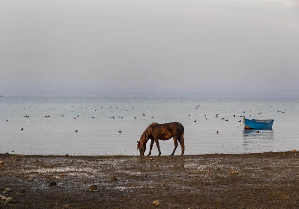 Waterbirds are seen behind a grazing horse at the Pong Dam wetlands in Nagrota Suriyan, about 65km (40 miles) south of Dharmsala, India, Tuesday, Dec. 10, 2019. The Pong Wetlands host and support hundreds of migratory bird species in the winter months. (AP Photo/Ashwini Bhatia)