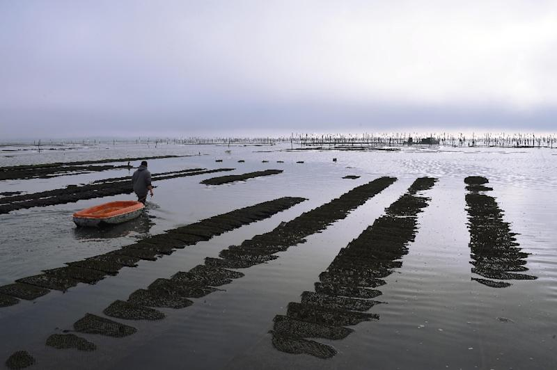 Researchers from the University of Perpignan not far from this oyster park in Arcachon Bay showed the disease-complex hits both farmed and wild Crassostrea gigas oysters, by far the largest commercial species in the world