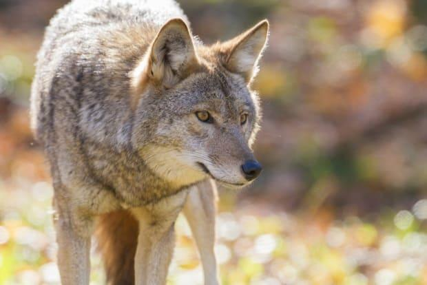 The B.C. Conservation Officer Service advises people to visit Stanley Park at their own risk due to aggressive coyotes. (Shutterstock / Mircea Costina - image credit)