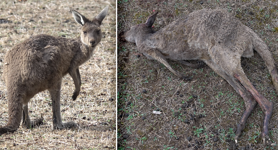 Kangaroos were found with severe burns weeks after prescribed burns in Perup. Source: Bill Smart