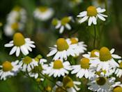 """<p>Matricaria chamomilla, commonly known as chamomile, is one of several different species in the daisy family. As well as attracting nature, its sweet-scented, smooth plant has been used as a herbal remedy for decades. </p><p>""""A small and creeping plant often kept clipped by grazing animals, most plants only exist in the wild in the South of the UK, notably in the New Forest,"""" adds Michael. </p><p>""""It can be found on heath, coast clifftops, grassland, and oddly cricket pitches through our spring and summer months!""""</p><p><a class=""""link rapid-noclick-resp"""" href=""""https://go.redirectingat.com?id=127X1599956&url=https%3A%2F%2Fwww.primrose.co.uk%2F-p-133932.html&sref=https%3A%2F%2Fwww.countryliving.com%2Fuk%2Fhomes-interiors%2Fgardens%2Fg35975865%2Fbee-friendly-wildflowers%2F"""" rel=""""nofollow noopener"""" target=""""_blank"""" data-ylk=""""slk:BUY CHAMOMILE PLANTS"""">BUY CHAMOMILE PLANTS</a> <br></p>"""