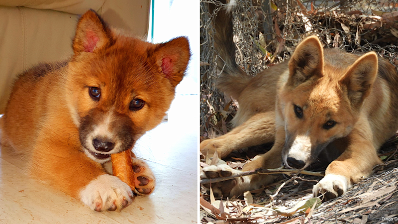 Split screen. Wandi the dingo as a pup and then grown up.