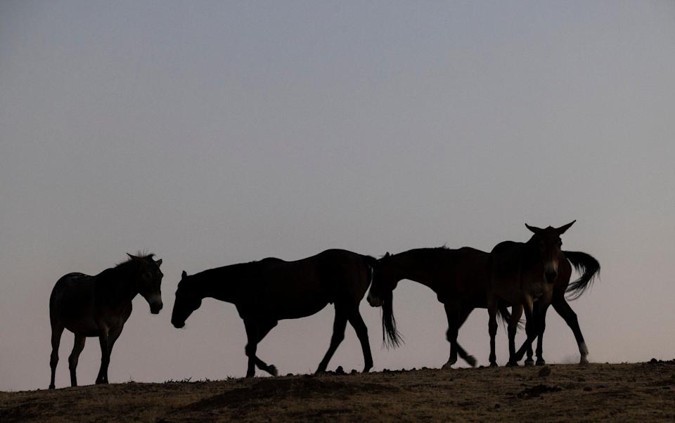Silhouettes of horses - Racing braces itself as Panorama set to claim 'thousands' of horses are sent to slaughter in Britain annually - GETTY IMAGES