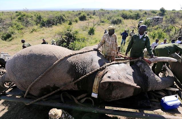 <p>Kenya Wildlife Service (KWS) rangers load a tranquillized elephant onto a truck during a translocation exercise to Ithumba Camp in Tsavo East National Park, in Solio Ranch in Nyeri County, Kenya, Feb. 21, 2018. (Photo: Thomas Mukoya/Reuters) </p>