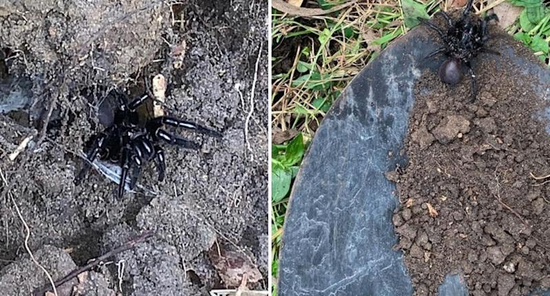 The funnel web spider found in the Northern Beaches backyard pictured in the ground (left) and on a shovel (right)