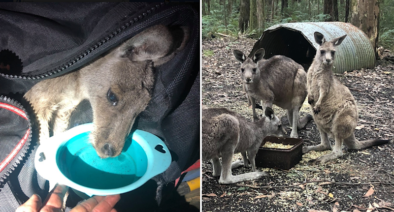 Split screen. Left - A joey cradled in a jacket drinks from a blue water bowl. Right - Three kangaroos in a burnt out forest