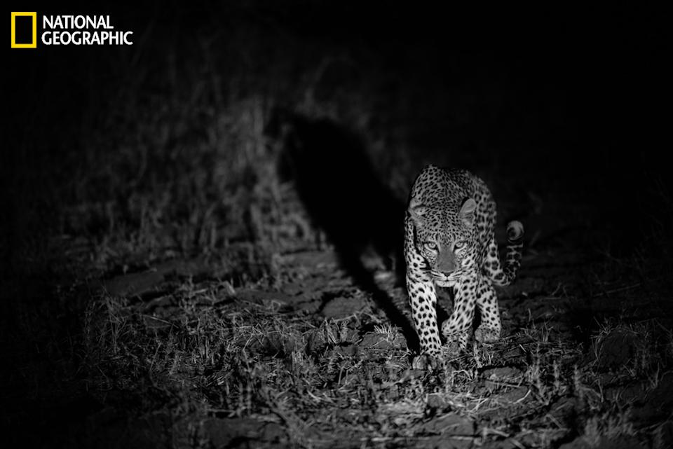 """While on safari in South Luangwa National Park, Zambia, we followed this leopard looking for dinner. (Photo and caption Courtesy Sharon Haeger / National Geographic Your Shot) <br> <br> <a href=""""http://ngm.nationalgeographic.com/your-shot/weekly-wrapper"""" rel=""""nofollow noopener"""" target=""""_blank"""" data-ylk=""""slk:Click here"""" class=""""link rapid-noclick-resp"""">Click here</a> for more photos from National Geographic Your Shot."""