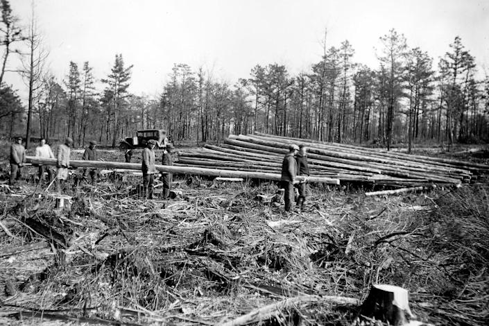 Trees like the Atlantic White Cedar were decimated in the past centuries mostly due to logging for construction. (New Jersey Parks and Forestry)