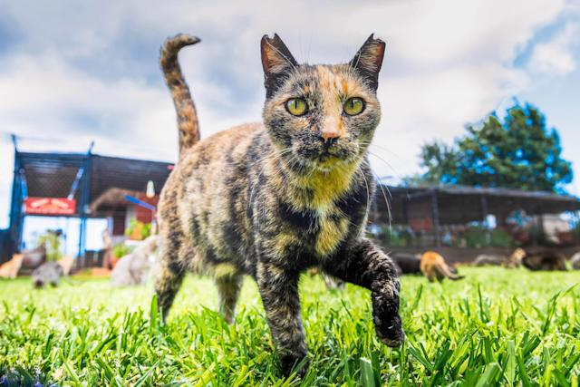 <p>An inquisitive cat comes to say hello at the Lanai Cat Sanctuary in Hawaii. (Photo: Andrew Marttila/Caters News) </p>