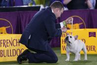 A handler gets the attention of his French bulldog during judging of the Best in Show category at the Westminster Kennel Club dog show, Sunday, June 13, 2021, in Tarrytown, N.Y. (AP Photo/Kathy Willens)