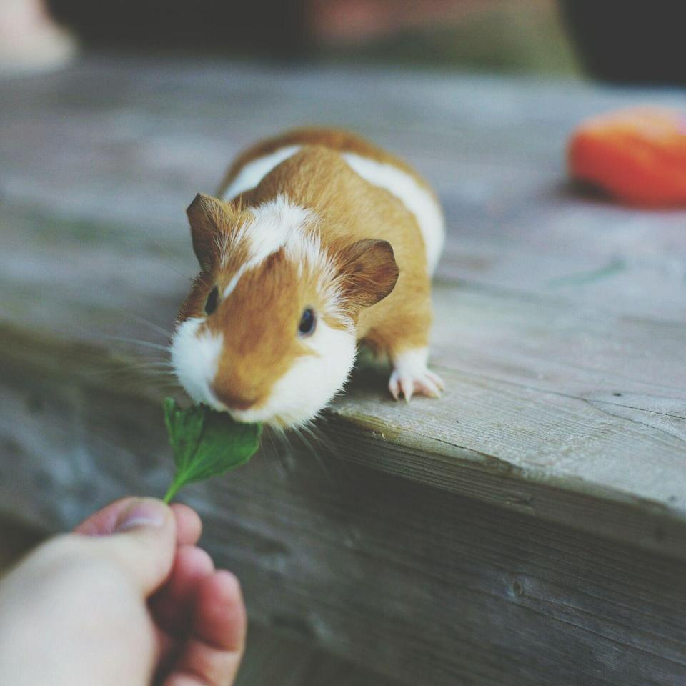 """<p>If you're not sure if your child is ready for a cat or dog just yet, consider starting them out with a <a href=""""https://www.womansday.com/life/pet-care/g27911814/guinea-pig-breeds/"""" rel=""""nofollow noopener"""" target=""""_blank"""" data-ylk=""""slk:guinea pig"""" class=""""link rapid-noclick-resp"""">guinea pig</a> or <a href=""""https://www.womansday.com/life/pet-care/g28466412/best-types-of-hamsters/"""" rel=""""nofollow noopener"""" target=""""_blank"""" data-ylk=""""slk:hamster"""" class=""""link rapid-noclick-resp"""">hamster</a> first. They're smaller, and are pretty independent inside their cages with the help of toys. That said, they still have daily and weekly needs such as feedings, cleaning out cages, and human attention. </p>"""