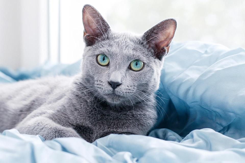"<p>If you like spending long weekends on your own recharging your social batteries, you could not ask for a better companion than a <a href=""https://cfa.org/russian-blue/"" rel=""nofollow noopener"" target=""_blank"" data-ylk=""slk:Russian Blue"" class=""link rapid-noclick-resp"">Russian Blue</a>. Keiger, who breeds Russian Blues, says, ""They're wary around strangers but they bond very tightly with their owners."" Quiet and independent, these cats won't mind if you're away from the house for long periods of time, but they will affectionately greet you when you return. </p>"