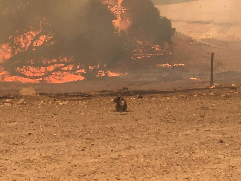 Koala stands in the field with bushfire burning in the background, in Kangaroo Island