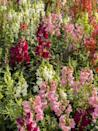 <p>Snapdragons will add height to your garden, and also look fantastic in floral arrangements!</p><p><strong>When it blooms: </strong>Spring through fall</p><p><strong>Where to plant:</strong> Full sun</p><p><strong>When to plant: </strong>6-8 weeks prior to last frost</p><p><strong>USDA Hardiness Zones: </strong>7 to 11</p>