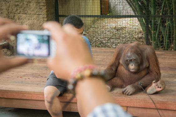An orangutan kept chained for tourists in Bali (World Animal Protection / Andi Sucirta)