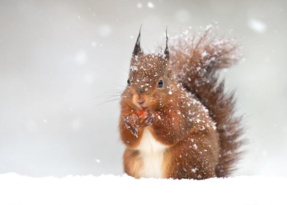 <p>Red squirrels never hibernate and are active all year long. They spend most of the winter hunting for whatever food they can find— it looks like this one may have lucked out and found a berry. </p>