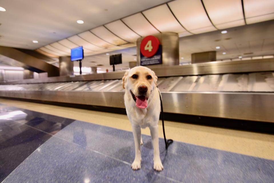 Airport dogs are being trained to detect people infected with COVID-19. (Photo: Getty Images)