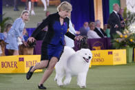 The handler of a Samoyed runs with her dog before the judges in the working group category at the Westminster Kennel Club dog show, Sunday, June 13, 2021, in Tarrytown, N.Y. The dog won best in catgegory. (AP Photo/Kathy Willens)