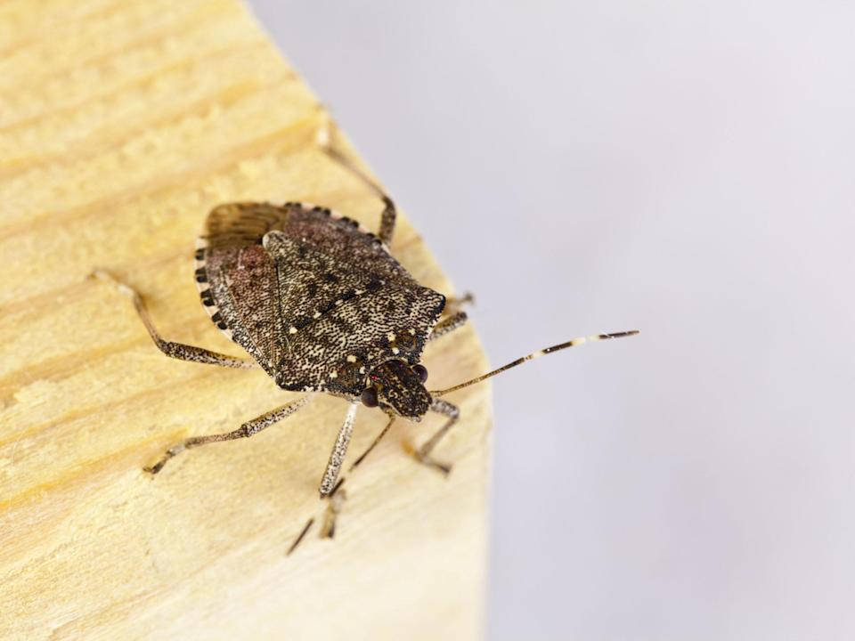 Six generations of the brown marmorated stink bug can be born within a single year: Getty/iStock