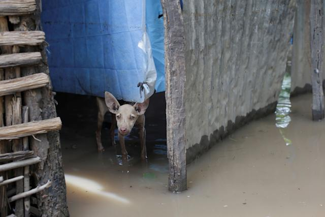 A pup stands in flood waters in Fort Liberte, Haiti